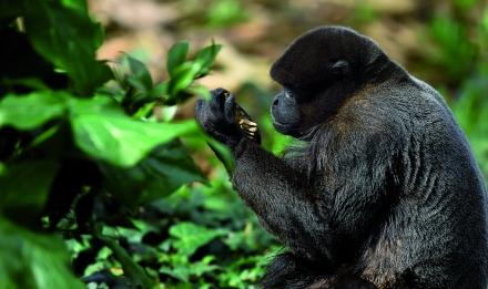 Primate examinant une feuille