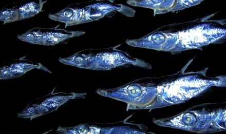 Larval fish course.jpg